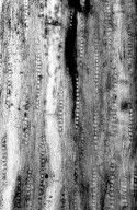 FAMILY? Fejej Group II. Wood Type 2