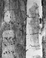 LEGUMINOSAE DETARIOIDEAE Microberlinia bisulcata
