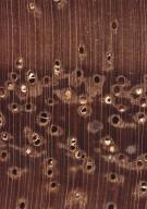 LEGUMINOSAE CAESALPINIOIDEAE Mimosoid Clade Inga marginata