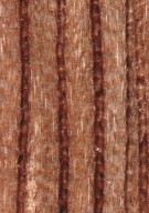 LEGUMINOSAE CAESALPINIOIDEAE Mimosoid Clade Archidendropsis oblonga
