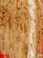 LEGUMINOSAE CAESALPINIOIDEAE Caesalpinia sclerocarpa