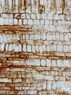 MALVACEAE TILIOIDEAE Craigia yunnanensis