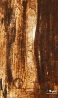 MAGNOLIACEAE Magnoliaceoxylon panochensis