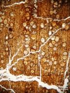 BETULACEAE Carpinoxylon ostryopsoides