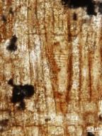 FAMILY? Riboidoxylon cretaceae