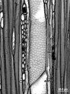 LAURACEAE Cryptocarya chinensis