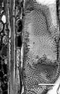 LEGUMINOSAE CAESALPINIOIDEAE Eperua rubiginosa