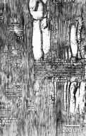ANACARDIACEAE Astronium ulei