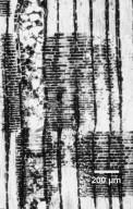 LECYTHIDACEAE Eschweilera subglandulosa