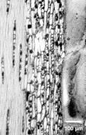 LEGUMINOSAE CAESALPINIOIDEAE Dimorphandra conjugata