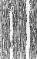 MYRISTICACEAE Iryanthera lancifolia