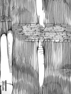 ARALIACEAE Schefflera osyana