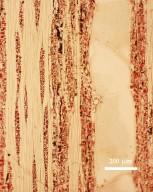 LEGUMINOSAE DETARIOIDEAE Cynometra ramiflora