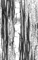 CLUSIACEAE Moronobea coccinea