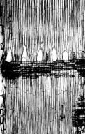 LAURACEAE Ocotea tomentella