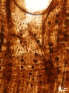 FAGACEAE Quercinium amethystianum