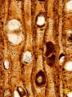 FAMILY? Paraphyllanthoxylon anazasii
