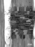 ANACARDIACEAE Campnosperma panamensis