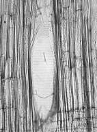 AQUIFOLIACEAE Ilex caliana