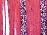 PRIMULACEAE MYRSINOIDEAE Rapanea melanophloeos