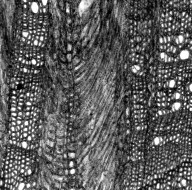 EPHEDRACEAE Ephedra fasciculata