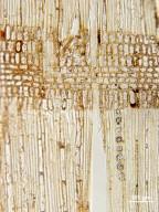 EBENACEAE Diospyros kamerunensis