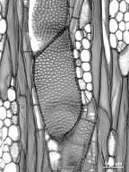 ANACARDIACEAE Pachycormus discolor