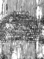 BIGNONIACEAE Chilopsis linearis