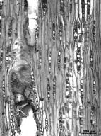 LEGUMINOSAE PAPILIONOIDEAE Pterocarpus santalinus