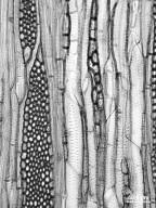 CANNABACEAE Celtis laevigata reticulata