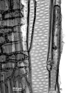 FAGACEAE Fagus grandifolia
