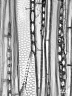 BETULACEAE Corylus cornuta