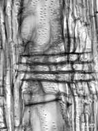 RUTACEAE Ptelea trifoliata