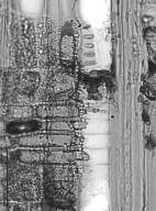 HAMAMELIDACEAE Hamamelis mollis