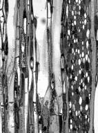 APHLOIACEAE Aphloia theiformis