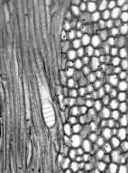 GARRYACEAE Garrya buxifolia