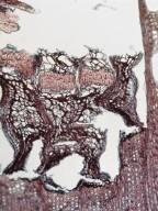 BIGNONIACEAE Bignonia prieurei