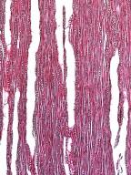 BIGNONIACEAE Campsis radicans