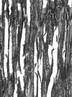 BIGNONIACEAE Adenocalymma divaricatum