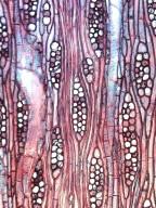 BIGNONIACEAE Heterophragma quadriloculare