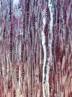 BIGNONIACEAE Manaosella cordifolia
