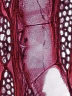 BIGNONIACEAE Millingtonia hortensis