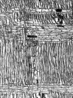 BIGNONIACEAE Tecomella undulata