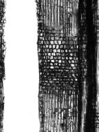 BIGNONIACEAE Tanaecium pyramidatum