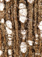 FAMILY? Paraphyllanthoxylon arizonense