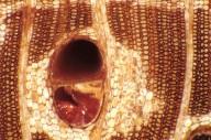LEGUMINOSAE CAESALPINIOIDEAE Afzelia rhomboidea