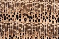 LEGUMINOSAE PAPILIONOIDEAE Styphnolobium japonicum