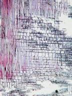 MALVACEAE STERCULIOIDEAE Pterocymbium tinctorium
