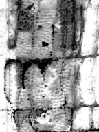 MALVACEAE BYTTNERIOIDEAE Melochia umbellata