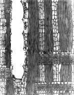 LEGUMINOSAE CERCIDOIDEAE Gigasiphon humblotianum